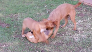 Lovely little dogs that enjoy playing