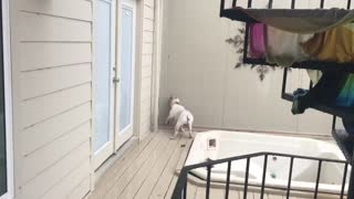Bulldog completely bewildered by heavy rainfall - Video