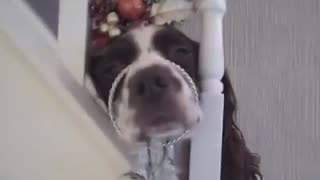 Springer Spaniel Christmas makeover - Video