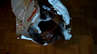 Hungry Dog Goes Inside The Food Bag Looking For More Food - Video