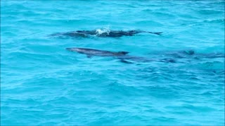 Swimming with wild dolphins in Egypt.