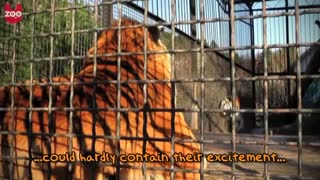 Lion And Tiger Cubs Play Together - Video