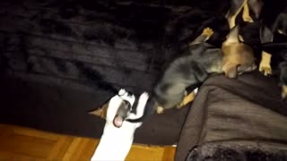 chihuahua dog puppy climbing on couch - Video