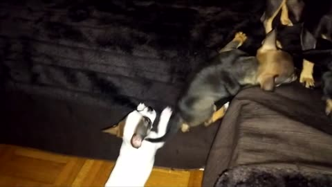 chihuahua dog puppy climbing on couch