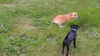 Puppy Chasing Corgi - Video
