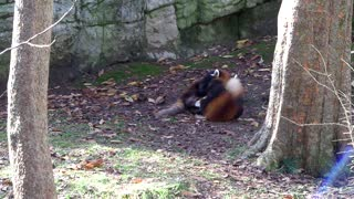 Red Pandas Frolicking - Video