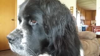 Sunbeams and a Newfoundland Dog - Video