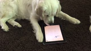 Golden Retriever fascinada con juego de iPad para mascotas - Video
