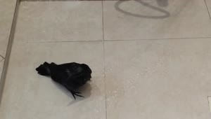 Baby Raven bird takes his first shower - Video
