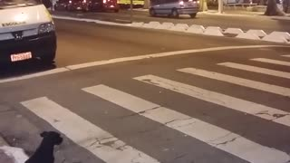 Clever Dog Waits For Green Light To Pass At Crosswalk - Video