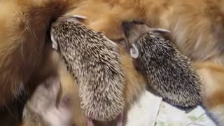 Mother cat adopts orphaned hedgehogs - Video