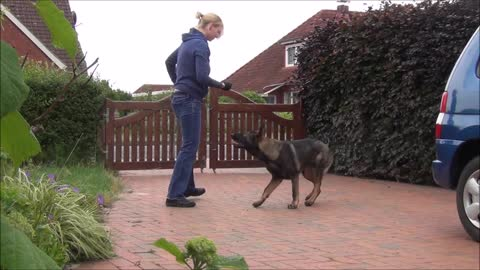 Training with young german shepherd dog