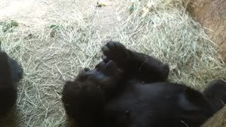 Gorilla Snacking and Lounging