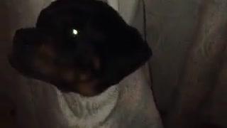 Rottweiler puppy loses battle with window curtains  - Video