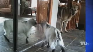 Adorable Goat Attacks Herself - Video