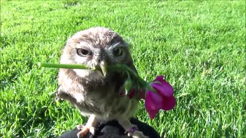 Tiny Owl Shows Off With Adorable Rose Trick