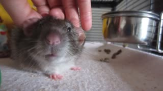 ADORABLE pet rat enjoys his daily massage  - Video