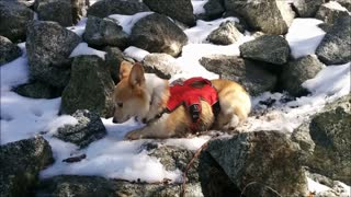 Lovable Corgi enjoys playtime in the snow