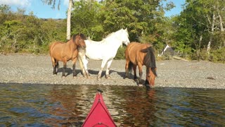 Admiring horses from sea kayaks on a journey through Loch Maree, Scotland