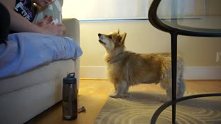 Corgi has debate with owner concerning playtime
