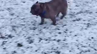 French Bulldog Performs Epic Slide In The Snow