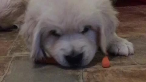 Puppy tries baby carrot, gives priceless reaction