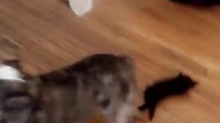 Little kitten tries to follow big dog but runs into him