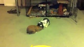 Rabbits fighting  - Video