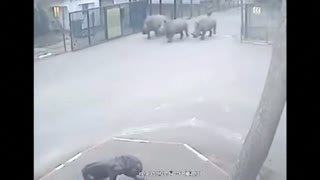 Rhinos flee Israel's safari zoo as guard falls asleep - Video