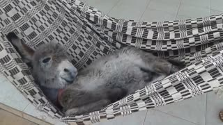 Donkey Enjoys Some Sweet Downtime On A Swinging Hammock - Video