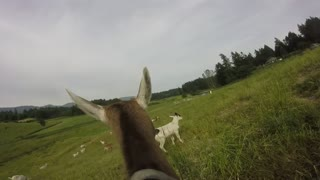 GoatPro - Taking the Goats Out to Pasture After the Morning Milking