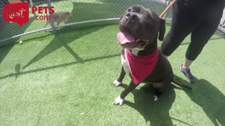 Big dogs are not all scary, and here's proof - Video