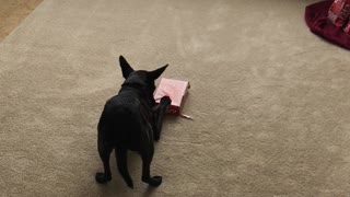 This Dog Didn't Wait for Christmas to Open Presents - Video