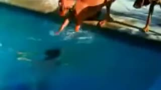 The dog who thinks his owner is drowned - Video