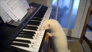 Talented ferret plays the piano - Video