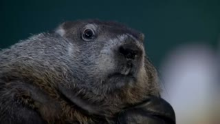 Groundhog predicts six more weeks of winter - Video