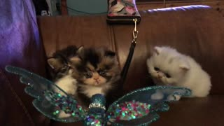 Persian kittens playing - Video