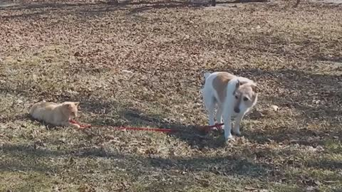 Cat won't let go of dog's leash