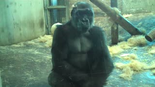 6 Minutes Of A Gorilla Throwing Up and Eating It - Video