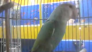 budgie in a cage - Video