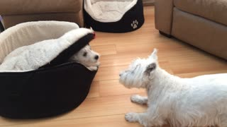 Terriers engage in hilarious game of peek-a-boo - Video