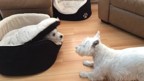 Terriers engage in hilarious game of peek-a-boo