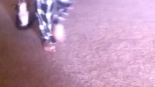 Black dog getting dragged on carpet