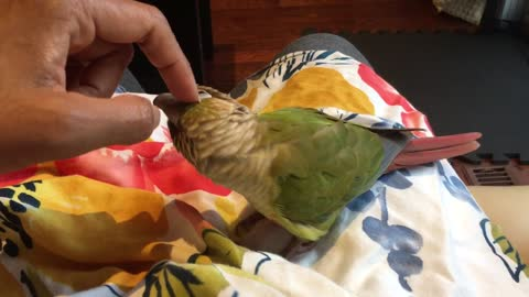 Conure demands a head scratch *