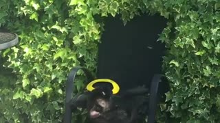 Collab copyright protection - black french bulldog chair frisbee - Video