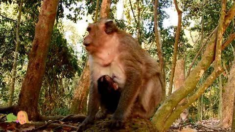 How nice mother monkey just give birth and taking care baby very well