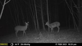 Large Raccoon with Whitetail Deer