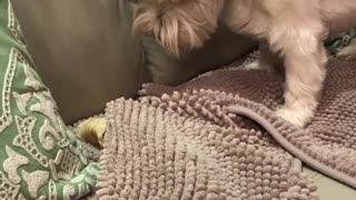 Clever Westie buries treat in blanket for later