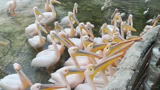 That's How Pink Pelican Reactions When Seeing Fishes