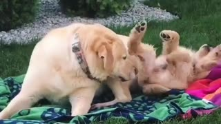 my cute golden dog play in the garden with his father